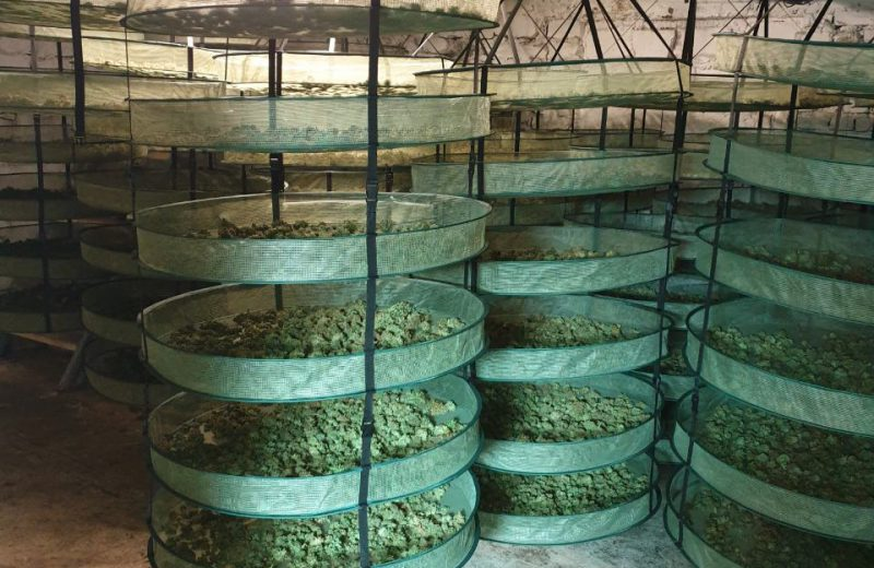 Bulgaria shuts down illegal cannabis greenhouse