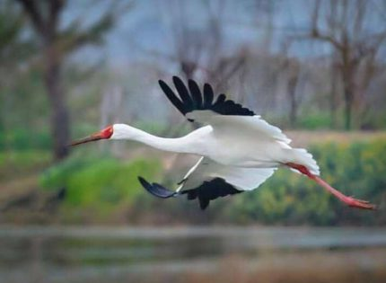 Only Siberian crane comes back to his second home, northern Iran