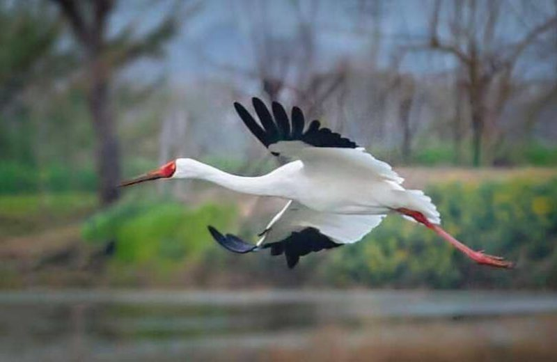 The last remaining Siberian crane comes back to his second home, northern Iran