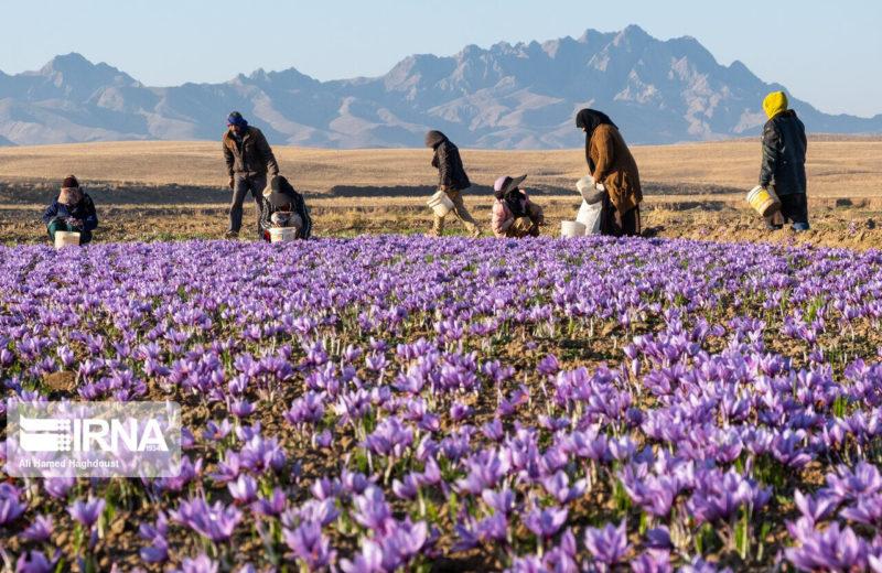 117,5 tons saffron exported from Khorasan Razavi