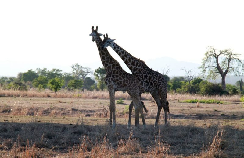 Nearly 600 wild animals killed by motorists in northern Tanzania in 2019