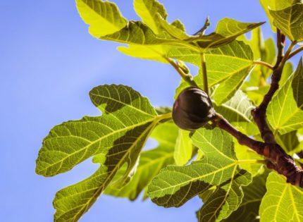Figs: New brand of Eastern Herzegovina