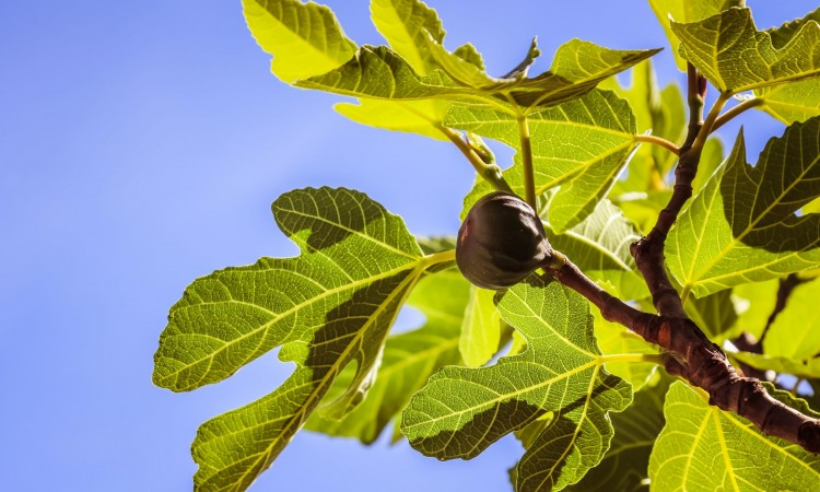 Figs: New brand of Eastern Herzegovina