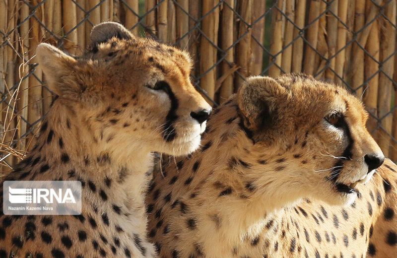 Saving Iranian Cheetah top priority for Iran Department of Environment