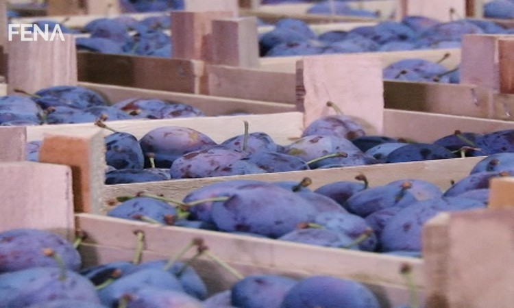 Eight thousand tons of plums grown in Tuzla Canton exported to the EU market